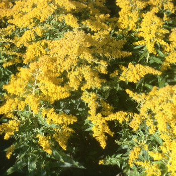 SOLIDAGO 'Golden Mosa'
