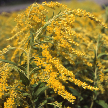 SOLIDAGO 'Golden Shower'