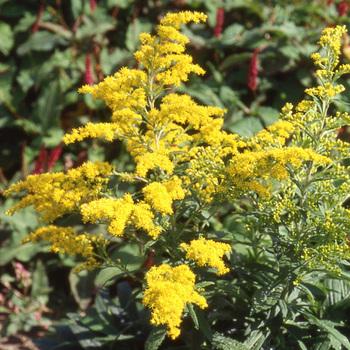 SOLIDAGO 'Mimosa'