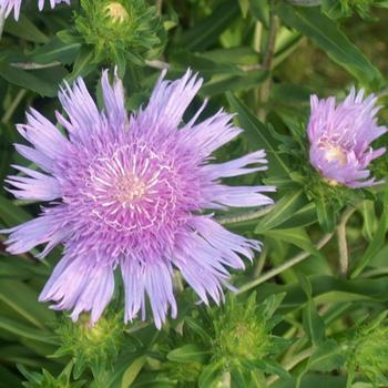 STOKESIA laevis 'Purple Parasols'