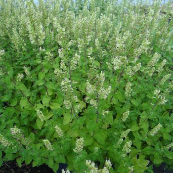 TEUCRIUM scorodonia 'Crispum'