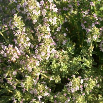 THYMUS microphylla 'Variegata'