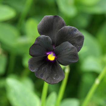 VIOLA 'Molly Sanderson' (Cornuta Group)