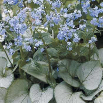 BRUNNERA macrophylla 'Looking Glass' ®