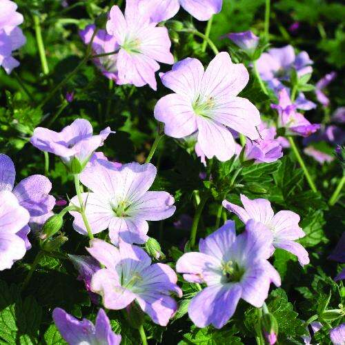 plantes vivaces myrtus communis 39 flore pleno 39 myrte en vente p pini re lepage. Black Bedroom Furniture Sets. Home Design Ideas