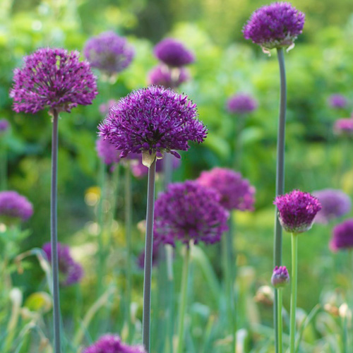 ALLIUM aflatunense 'Purple Sensation'  (lot de 5)