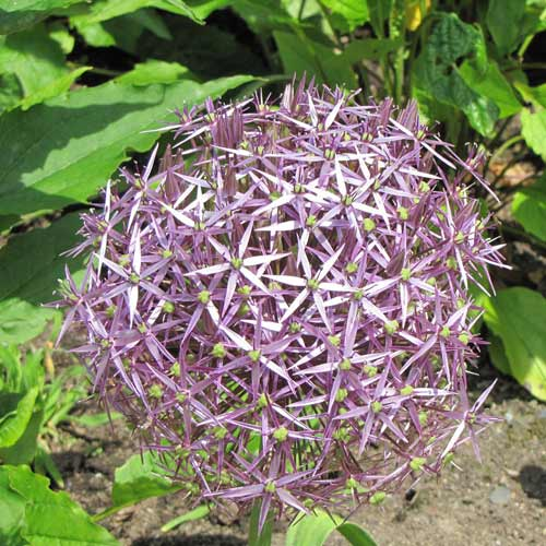 ALLIUM cristophii (lot de 5)