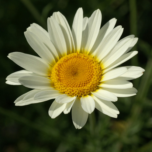 ANTHEMIS hybrida 'Sauce Hollandaise'