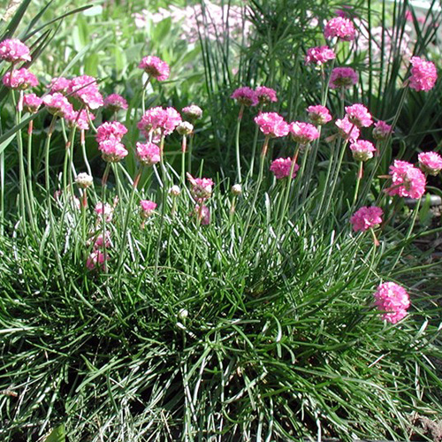 plantes vivaces armeria maritima 39 splendens 39 gazon d 39 espagne en vente p pini re lepage. Black Bedroom Furniture Sets. Home Design Ideas