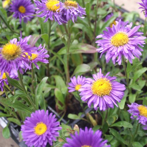 Plantes Vivaces Aster Alpinus Dunkle Schone Aster De Printemps