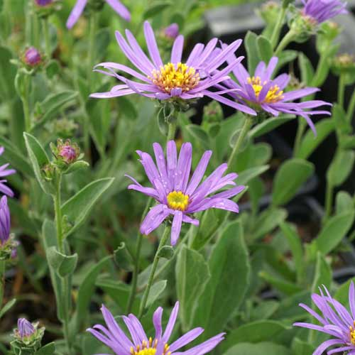 ASTER amellus 'Blue King'