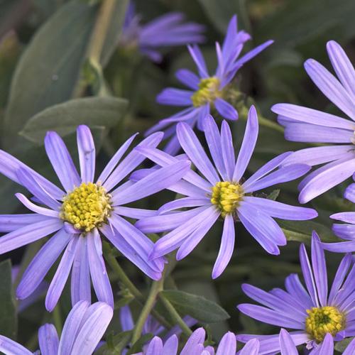 Plantes Vivaces Aster Amellus Lac De Geneve Aster D Ete Aster
