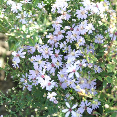 Plantes Vivaces Aster Cordifolius Ideal Aster D Automne En Vente