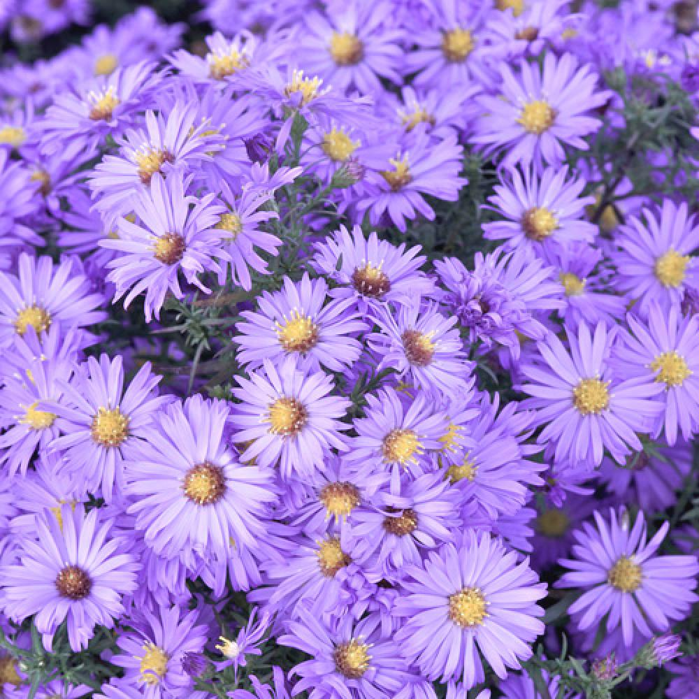Plantes Vivaces Aster Lady In Blue Dumosus Group Aster D