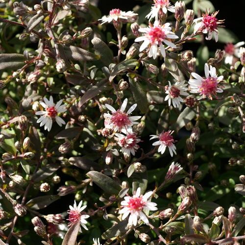 Plantes Vivaces Aster Lateriflorus Prince Aster D Automne En