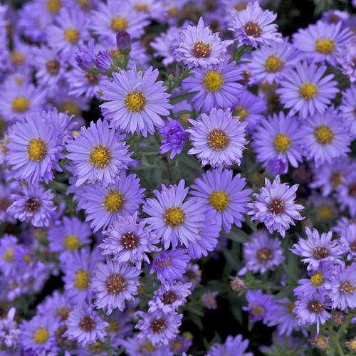 Plantes Vivaces Aster Nb Audrey Aster D Automne Aster De