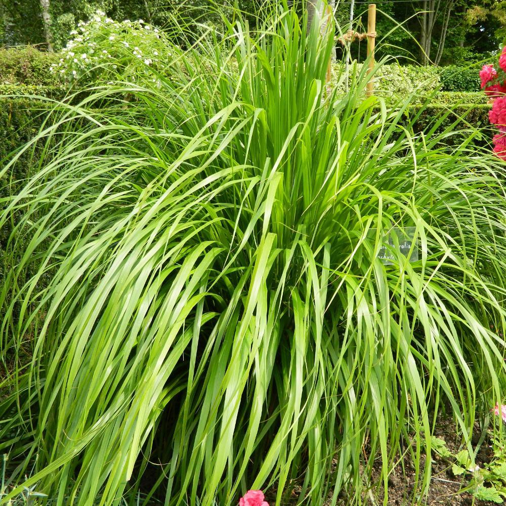 Les Plus Belles Graminées calamagrostis brachytricha (stipa)