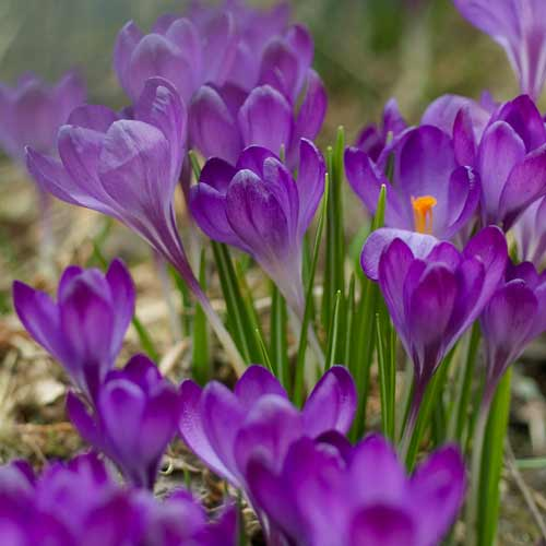 CROCUS tommasinianus 'Ruby Giant' (lot de 10)