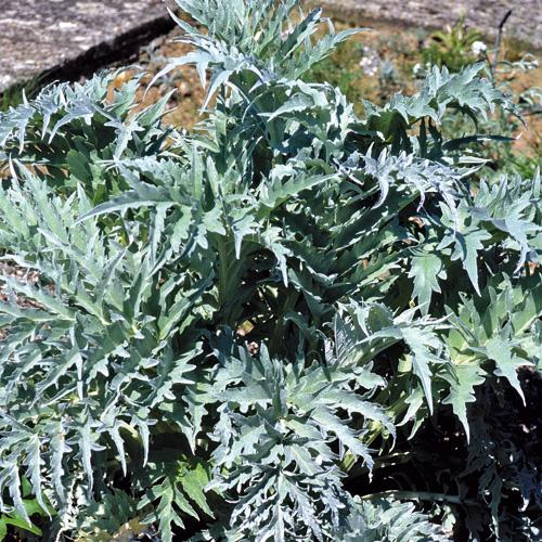 artichaut plante vivace