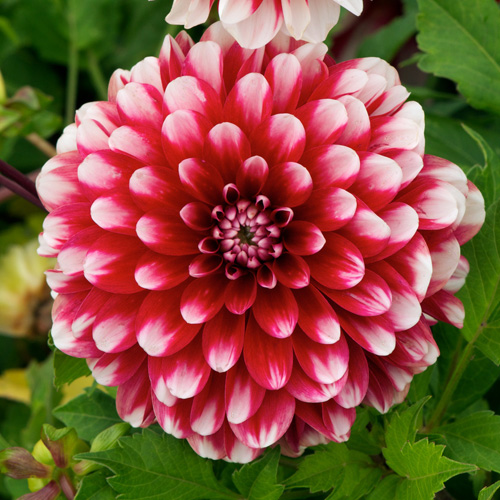 DAHLIA 'Little Tiger'