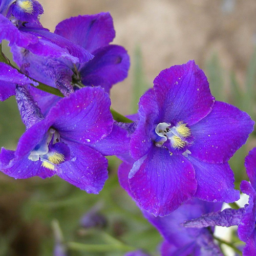 DELPHINIUM 'Atlantis' (Belladonna Group)