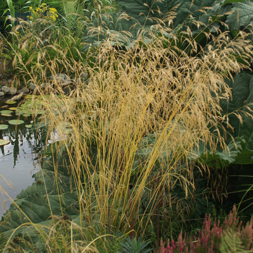 DESCHAMPSIA cespitosa 'Goldgeh�nge'