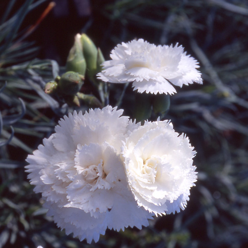 DIANTHUS 'Haytor White' (Plumarius Group)