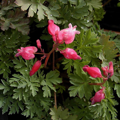DICENTRA formosa 'Luxuriant'