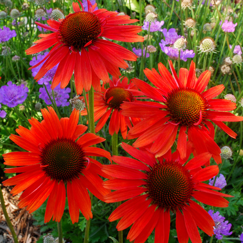 plantes vivaces echinacea 39 hot lava 39 rudbeckia pourpre. Black Bedroom Furniture Sets. Home Design Ideas