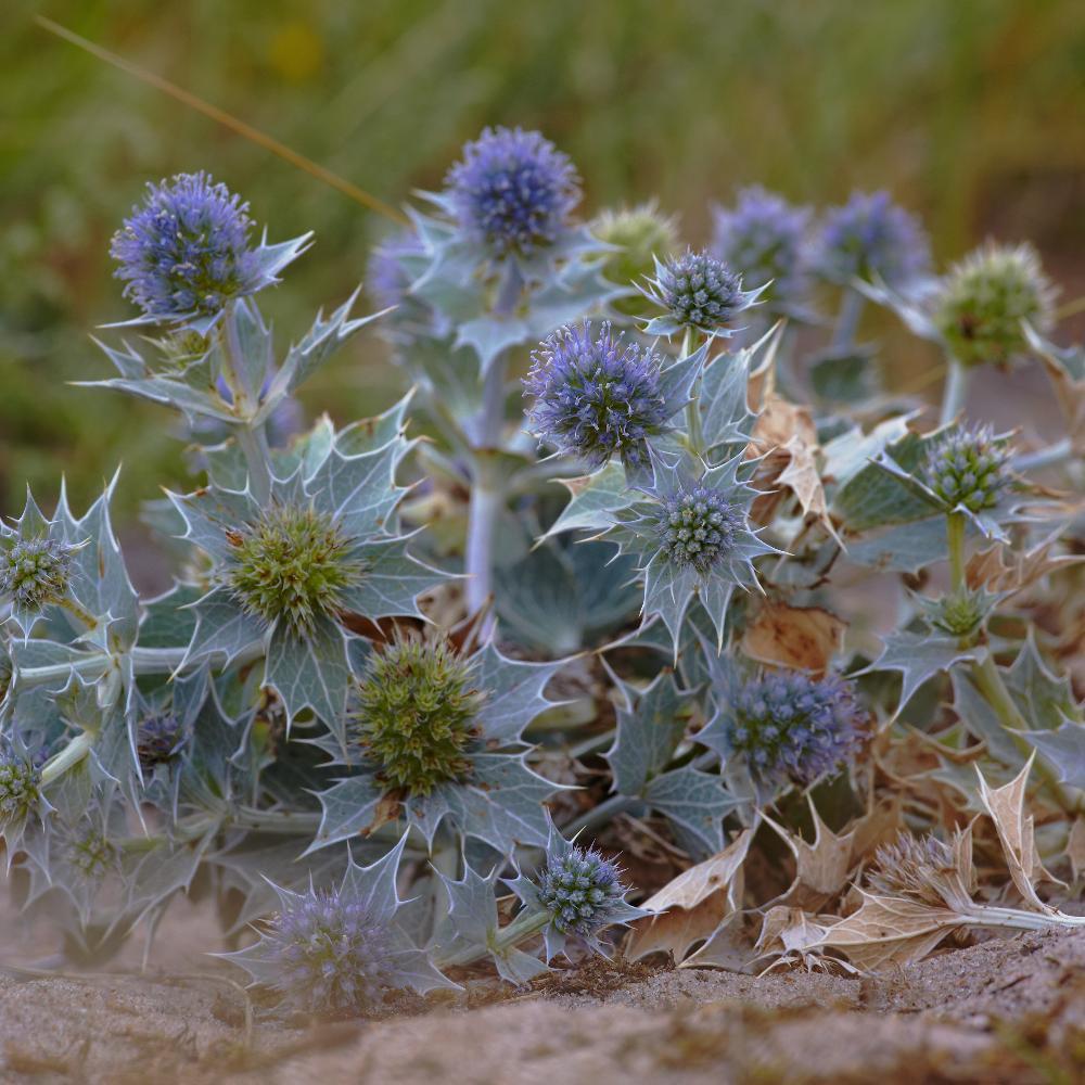 Plantes Vivaces Eryngium Maritimum Chardon Des Dunes Panicaut