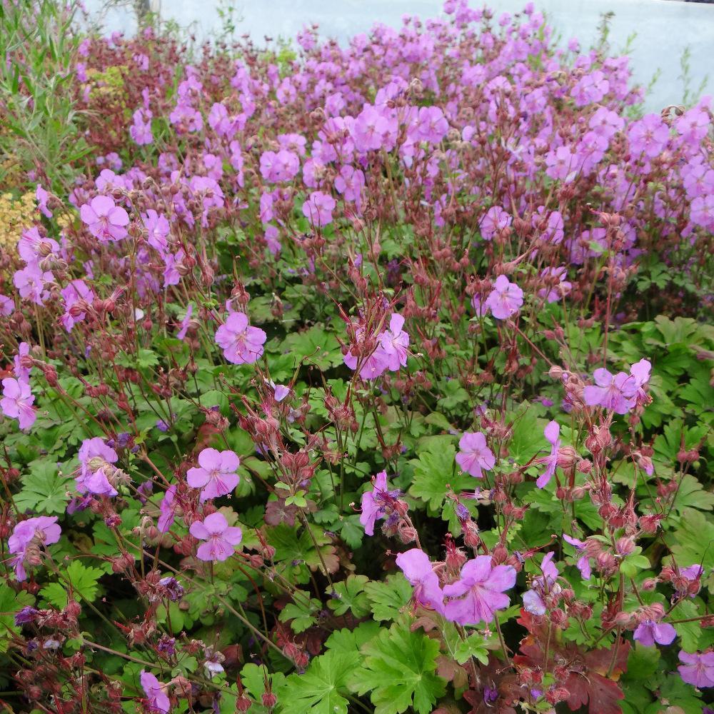 plantes vivaces geranium cantabrigiense 39 cambridge 39 g ranium vivace bec de grue en vente. Black Bedroom Furniture Sets. Home Design Ideas