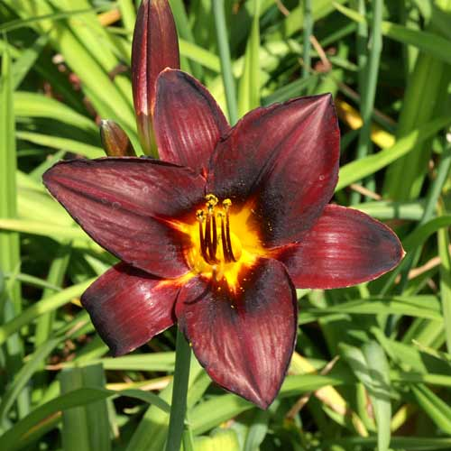 HEMEROCALLIS 'Chocolate Candy'