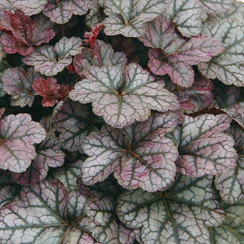 HEUCHERA 'Silver Lord'