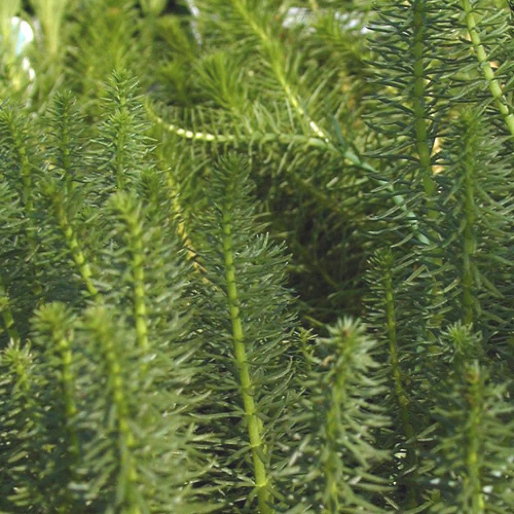 plante aquatique longue tige raide