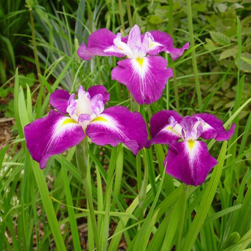 Iris ensata-japonais iris-cottage frontière étang marais jardin vivace