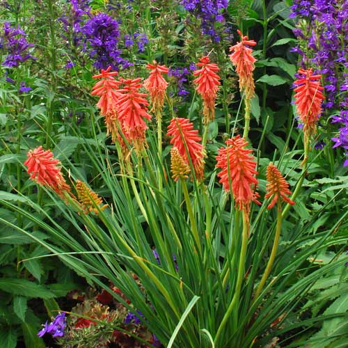 KNIPHOFIA 'Redhot Popsicle' �