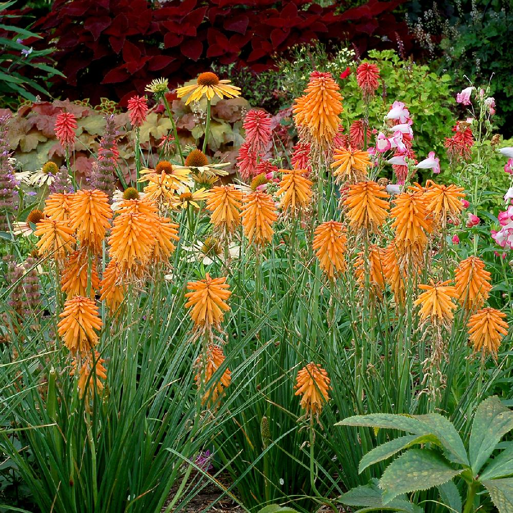 Plantes Vivaces KNIPHOFIA 'Poco Orange' ® - Tison de satan ...