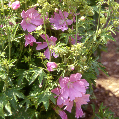 Plantes Vivaces Malva Moschata Mauve Mauve Musquee En Vente