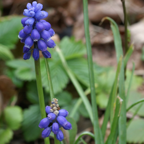 MUSCARI armeniacum (lot de 10)