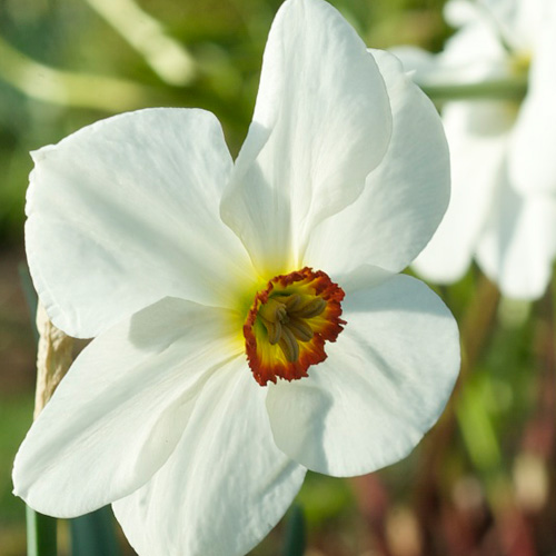 NARCISSUS poeticus (lot de 3)