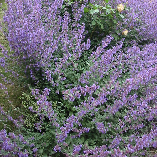 NEPETA 'Six Hills Giant' (Faassenii Group)