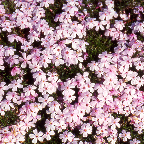 PHLOX 'Coral Eye' (Subulata Group)
