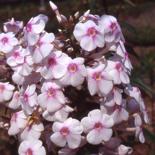 PHLOX 'Omega' (Maculata Group)