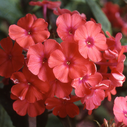 PHLOX 'Orange Perfection' (Paniculata Group)