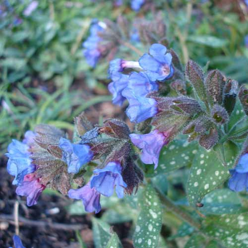 PULMONARIA 'Trevi Fountain'