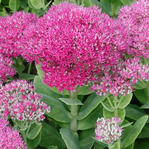 SEDUM spectabile 'Brillant'