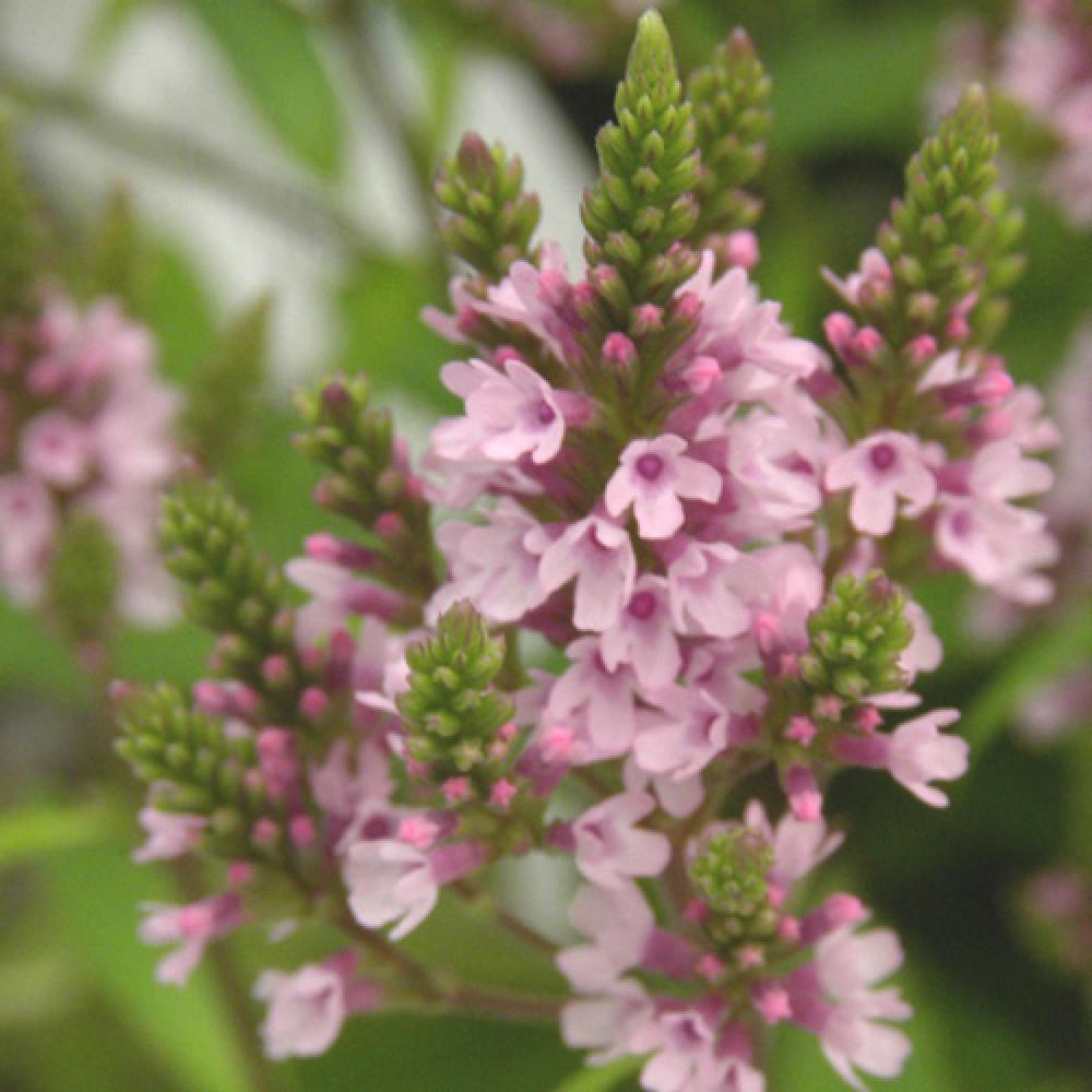 Plantes Vivaces VERBENA hastata f. rosea 'Pink Spires' - Verveine en vente - Pépinière Lepage