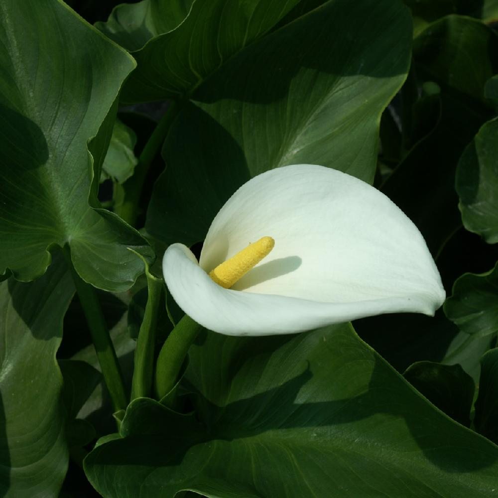 plantes vivaces zantedeschia aethiopica 'crowborough' - arum d