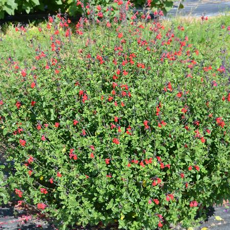 SALVIA jamensis 'Rêve Rouge' ®
