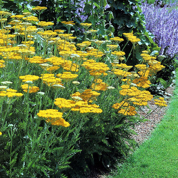 ACHILLEA 'Coronation Gold'